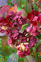 Hydrangea 'Preziosa' in autumn colour