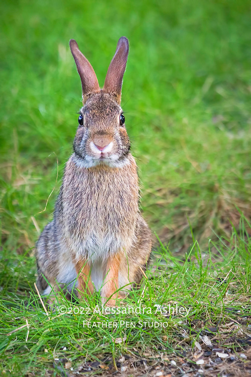 Portrait of eastern cottontail wild rabbit looking directly at photographer.