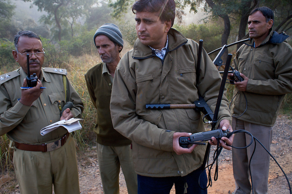 Mukhesh Saini (foreground), Assistant Field Officer, at Sariska National Park and colleagues including P.M. Sevda (right), Assistant Conservator of Forests use VHF receivers to track Sariska's two tigers, airlifted to the park from Ranthambore in June. Both cats wear transmitter collars. ..Sariska National Park in Rajasthan was once home to dozens of tigers but by 2005 poaching had resulted in their complete eradication. Recognising the urgent need for intervention, the Indian and Rajasthan-state governments began the reintroduction of tigers into Sariska. Two cats were airlifted 200 km from Ranthambore National Park in June 2008. On November 5th an attempt to relocate a third tiger was postponed until later in the month. This relocation strategy is certainly an important part of the tiger conservation effort but many, including those like Dharmendra Khandal of the NGO Tiger Watch, argue that it will never be entirely successful without properly confronting the three essential issues that threaten tiger populations: poaching, habitat loss and the hunting of prey-base animals. In turn, these three issues cannot be addressed without acknowledging the malign influence of caste, poverty and poor administrative accountability. Poaching is almost exclusively undertaken by extremely poor and marginalised groups, including the Mogia caste who, without education, land and access to credit have limited alternative means of income. Many in the Mogia community also hunt bush meat for both their own consumption and to sell to others. This results in a depletion of the prey-base upon which tigers feed. Encroachment and grazing by those including the Gujar people who raise dairy herds, have led to habitat loss in Sariska and other parks. To properly tackle the problem of hunting and encroachment, the government must provide alternative livelihoods for marginalised groups and relocate them to viable land before - rather than after - the re-introduction of tigers. Compounding all th