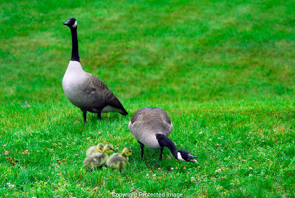Baby Canada geese (Branta canadensis), called goslings, keep close to each other in the rainy spring weather. They favor lawns where the grass is kept cut and new, tender spears are plentiful. The mother goose hisses as I come close, a warning to come not closer, while the daddy watches over them.