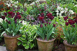 Tulipa 'Jan Reus' grown in pots with Narcissus 'Silver Chimes', Lamium orvala, hosta and heuchera at Glebe Cottage