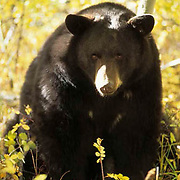 Black Bear, (Ursus americanus) Portrait of adult in aspen trees. Fall. Rocky mountains. Montana. Captive Animal.