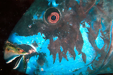 Parrotfish - Unsorted