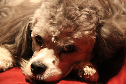 Bear, our Lhasa-Poo. The Lhasa-Poo is not a purebred dog. It is a cross between the Lhasa Apso and the Poodle.