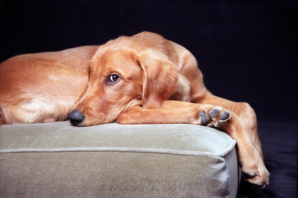 golden retriever on green cushion