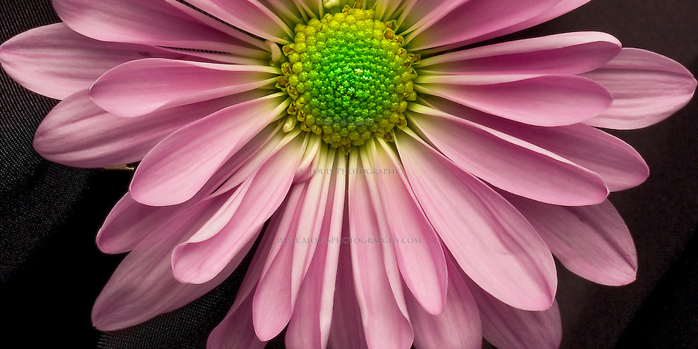 """Pink daisy-- natively a 10""""x20""""  panoramic print."""
