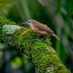 Garrinchão-de-barriga-vermelha (Cantorchilus leucotis) fotografado em Goiás - Centro-Oeste do Brasil. Bioma Cerrado. Registro feito em 2015.<br /> ⠀<br /> ⠀<br /> <br /> <br /> <br /> <br /> <br /> ENGLISH: Buff-breasted wren photographed in Goias - Midwest of Brazil. Cerrado Biome. Picture made in 2015.