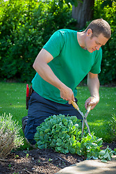 Doing a 'Chelsea Chop' on a sedum - cutting back by a third with hand shears in early summer to encourage strong and more compact growth later in the season.