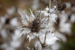 Eryngium seedhead