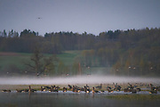 "Migrating geese at stopover site in Dviete floodplains at foggy morning, nature park ""Dvietes paliene"", Latvia Ⓒ Davis Ulands 