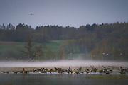 "Migrating geese at stopover site in Dviete floodplains at foggy morning, nature park ""Dvietes paliene"", Latvia Ⓒ Davis Ulands | davisulands.com"