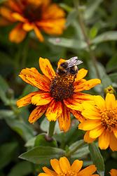 Bee on Zinnia Zahara Sunburst