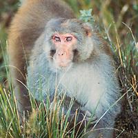 A rhesus monkey in Nepal