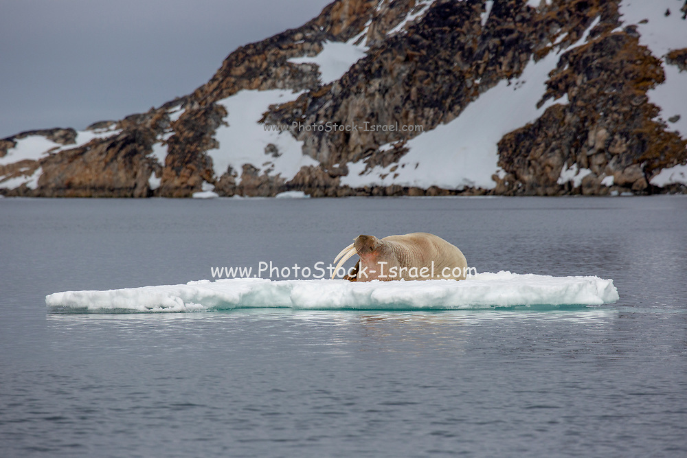Atlantic walrus (Odobenus rosmarus rosmarus) on ice floe. This large, gregarious relative of the seal has tusks that can reach a metre in length. Both the male (bulls) and female (cows) have tusks; the bulls use them in displays and fights when competing for dominance and access to cows. Both males and females use tusks to haul themselves onto ice or to create breathing holes. The walrus has inflatable pockets on either side of its oesophagus which it can fill with up to 50 litres of air for buoyancy. It dives to the ocean floor to feed on mussels, crabs, snails and starfish. The Atlantic walrus is found in two separate areas to the east and west of Greenland. Photographed in Spitsbergen, Svalbard, Norway