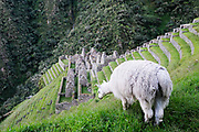 A Llama eat above Inca ruins in Peru's Sacred Valley. The ruins are along the Inca trail which takes trekkers to Machu Picchu.