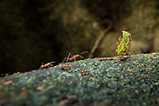 Leafcutter ants, a non-generic name, are a species of leaf-chewing ants belonging to the  generas of Atta and Acromyrmex. These fungus-growing ants are found in South and Central America, and Mexico. Selva Verde Rainforest Reserve, Costa Rica.