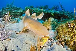 nurse shark, feeding on grunt, Ginglymostoma cirratum, Key Largo, Florida Keys National Marine Sanctuary, Atlantic Ocean