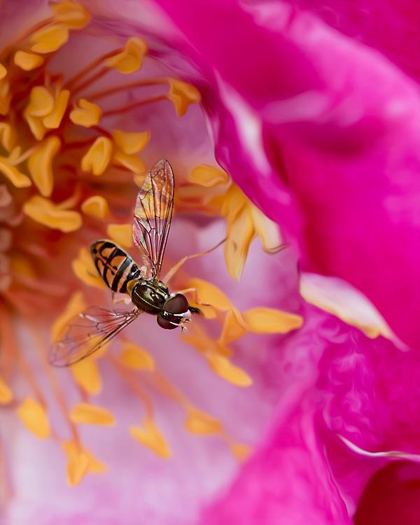 A Single Sweat Bee At His Job