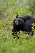 Black bear in Yellowstone National Park Wyoming