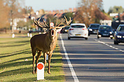 A stag deer roars at the side of the road as cars pass in Bushy Park, London, England on October 01, 2018.