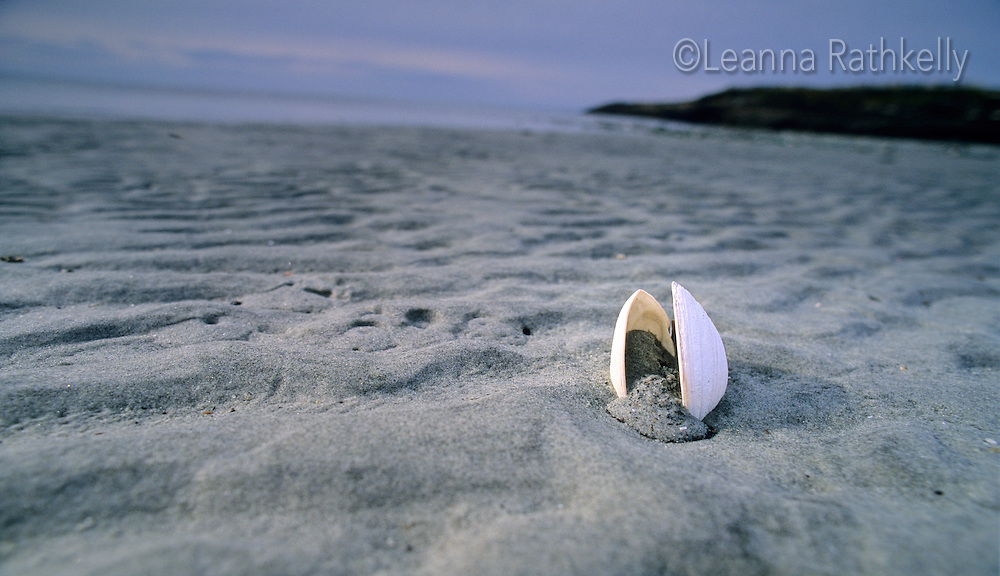A clam shell sits waiting on the dark sand beach at Hornby Island, BC after a storm has passed.