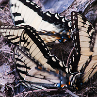 Group of male Eastern Tiger Swallowtail butterflies, Papilio glaucus in the C &O Canal National Park near Seneca, Maryland