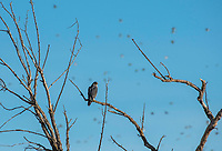 A Peregrine Falcon, Falco peregrinus, perches in a tree as a flock of other birds passes in the background in Sacramento National Wildlife Refuge, California