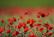 Poppy, Papaver sp.   La Serena, Extremadura, Spain