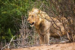 Fat Male Lion in Kruger National Park.