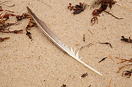 A single feather rests on the sand between pieces of rockweed on a beach in Provincetown.