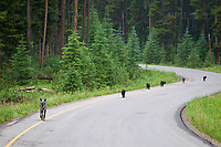 Wolf pack with pups in the Canadian Rockies