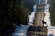 European Elk/Moose (Alces alces), crossing a road, Finland