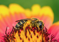 Halictus poeyi - Poey's Furrow Bee.  Photographed at UF/IFAS Extension Orange County gardens, Orlando FL USA.