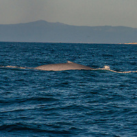 A blue whale surfaces in Montery Bay, California.