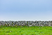Traditional dry stone wall of vertical sloping stones in field in The Burren, County Clare, West of Ireland