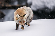 Cross fox on the prowl on a snowy day.