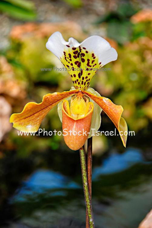 Yellow white Orchid Orchidaceae  Paphiopedilum
