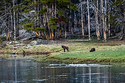 Evening in the Hayden Valley of Yellowstone, two black wolves of the Wapati Pack roaming the valley.