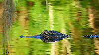 Partially Submerged Alligator in the Front Pond at Clyde Butchers Swamp Gallery -- Big Cypress Swamp in Florida. Image taken with a Nikon Df camera and 80-400 mm VRII lens (ISO 1600, 400 mm, f/5.6, 1/800 sec).