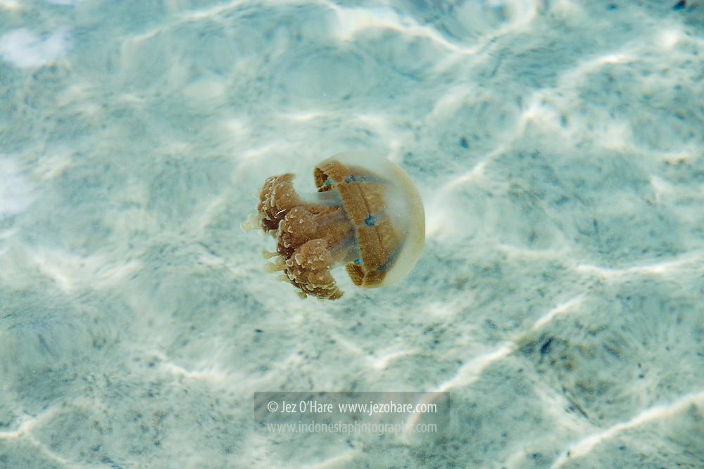 Stingless Jellyfish, Rote, Nusa Tenggara Timur, Indonesia