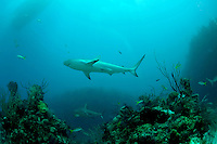 Caribbean Reef Sharks and Yellowtail Snapper in Cuba.