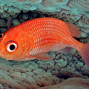 Cardinal Soldierfish are reclusive hiding in dark recesses in the reefs of the West Tropical Atlantic; picture taken Utila, Honduras.