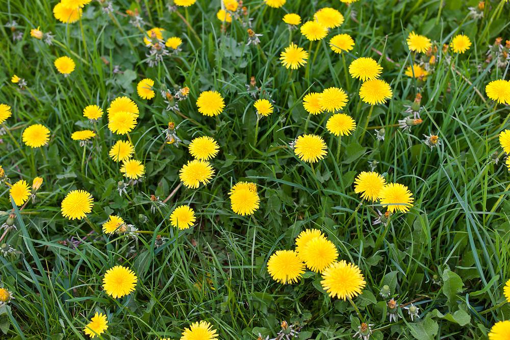 Dandelions, Taraxacum officinale, in meadow, Gloucestershire, UK