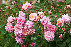 Rosa 'Cornelia' AGM