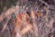 Sao Roque de Minas_MG, Brasil...Lobo-guara (Chrysocyon brachyurus) no Parque Nacional da Serra da Canastra, Minas Gerais...The wolf (Chrysocyon brachyurus) in the Parque Nacional da Serra da Canastra, Minas Gerais...Foto: JOAO MARCOS ROSA / NITRO