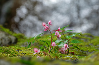 Minute pink flower by a creek, Wuliangshan Nature Reserve, in Jingdong county, Yunnan Province, China.