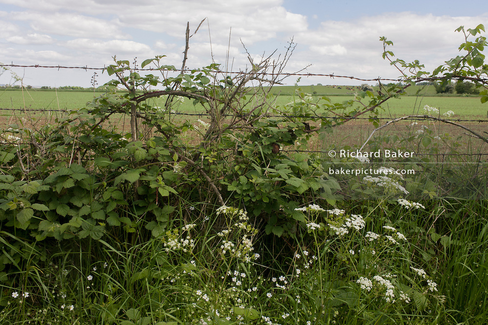Undisturbed rural hedgerow with fields and wetlands beyond near Halstow on the Kent Thames estuary marshes, potentially threatened by the future London airport.