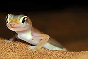 Der kleine (etwa 10-12 cm große) Wuestengecko (Palmatogecko rangei) erscheint nachts an der Oberfläche der Sanddünen der Namib-Wüste, wo er auf Jagd nach z.B. Spinnen und Heuschrecken geht.  Sein zierlicher Körper ist blaß und erscheint fast durchsichtig. Die riesigen Augen ermöglichen das Auffinden der Beute im Dämmerlicht und die Schwimmhäute an den Füßen helfen nicht nur beim Laufen auf der lockeren Sandoberfläche, sondern dienen als Paddel beim Abtauchen in den Sand. | Web-footed gecko Gecko (Palmatogecko rangei) on sand dune in the Namib Desert