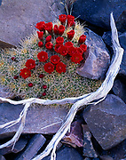 Claret cup cactus, Echinocereus triglochidiatus, blooming on talus slope above Arrastre Spring, Butte Valley, Death Valley National Park, California.