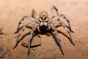 Wolf spider (Family Lycosidae) on sand. Photographed in Israel